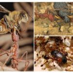 Yırtıcı karıncalar için yiyecek