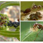 Böcek simbiyoz