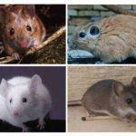 Zemin fareleri