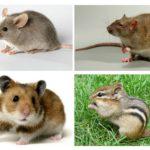 Diğer hayvanlardan bir farenin farkı