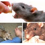 Sıçan ısırığı davranışı