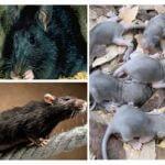 Yetiştirme fareleri