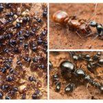 Karınca aile