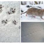 Karda sıçan izleri