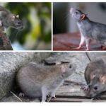 Vahşi sıçanlar