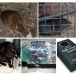 Sıçanların yok edilmesi