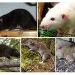 Sıçan türler
