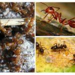 Karınca türleri