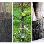 Farelerden gelen ağaçların korunması