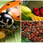 California uğur böceği