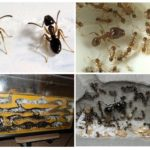 karınca çiftliği