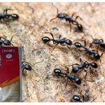 Karıncalar gök gürültüsü 2