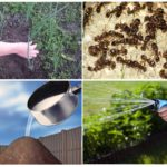 Karıncalara karşı sirkenin kullanımı