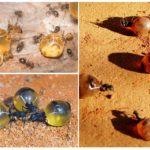 Bal karınca görevi
