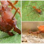 Karınca saldırı