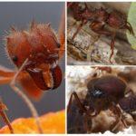 Karınca yaprak kesici