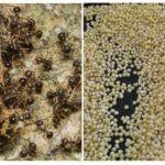 Karıncalardan Darı