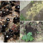 Ülkede darıların böceklerden kullanımı