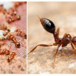 Apartmanda kırmızı karıncalar