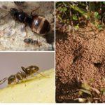 Siyah bahçe karıncaları