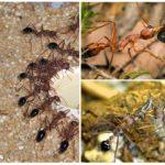 Karıncalar buldog