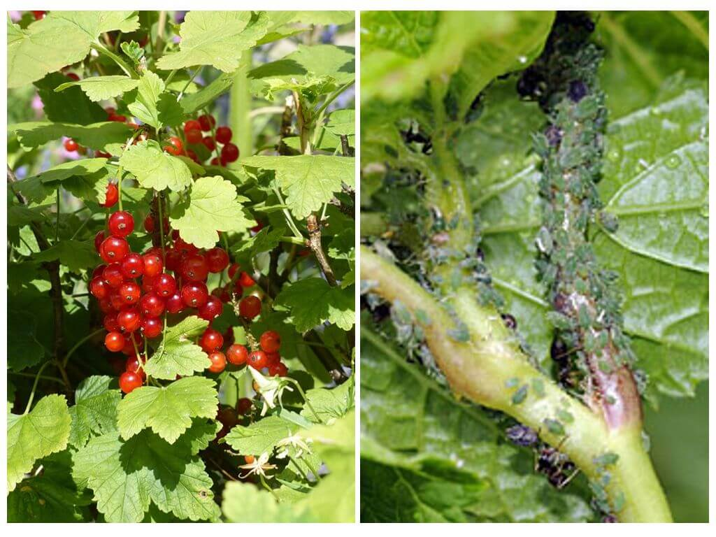 Erik Bitkilerinde Yaprakbitleri: Nasıl savaşılacak 11