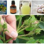 Yaprak bitleri için halk ilaçları