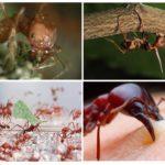 Karınca karıncaları hayat