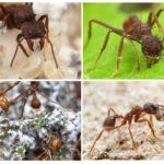 Karınca yaprak kesici ömrü