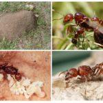 Kırmızı karınca habitatı