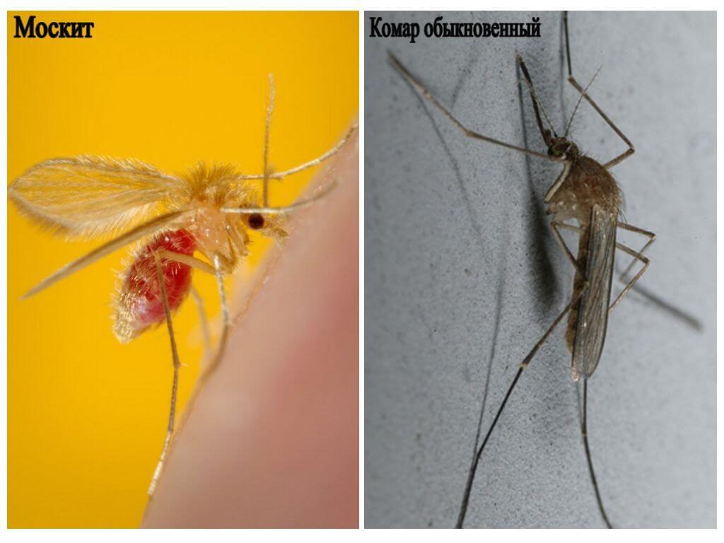 Sivrisinek ve sivrisinek sıradan