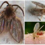 güve sinekleri