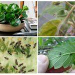Örümcek akarı, thrips ve mantar sivrisinekleri