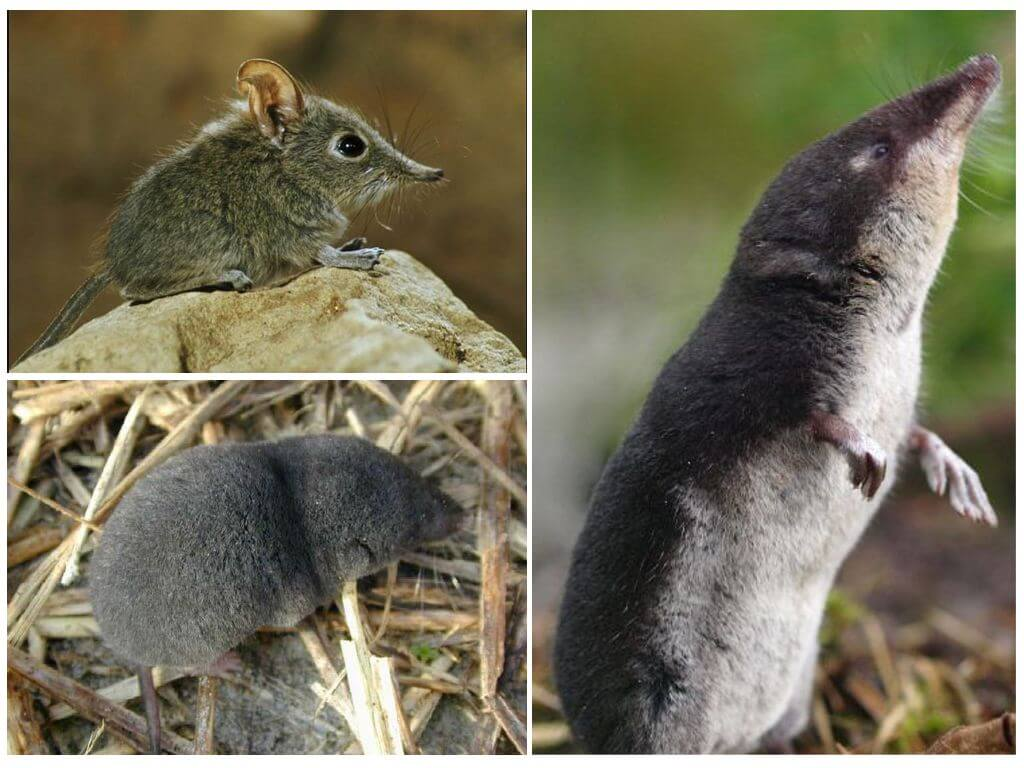 kır faresi
