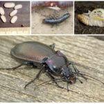Böceğin üremesi ve gelişimi