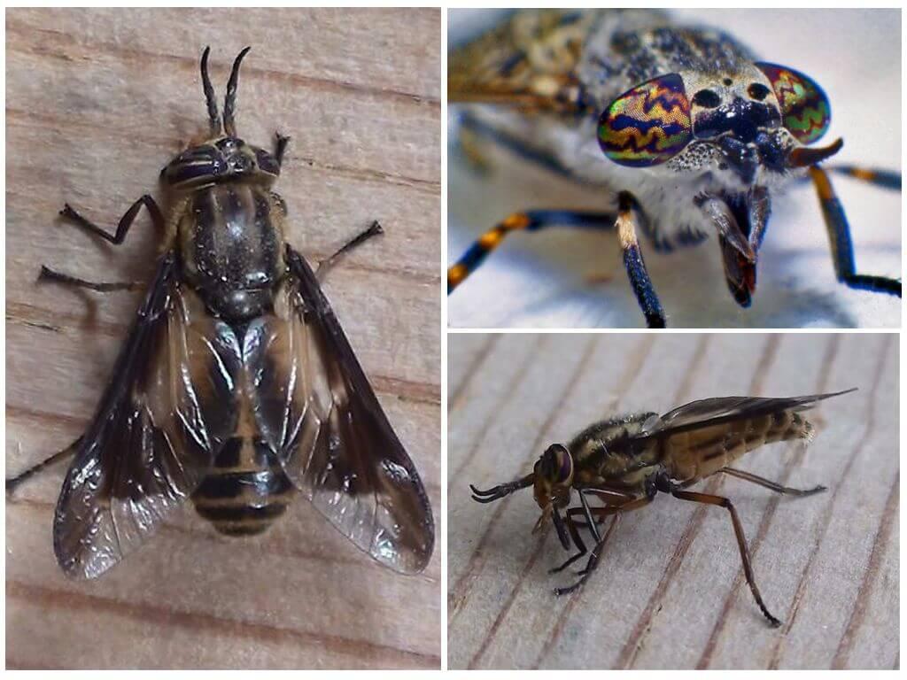 Böcek gadfly