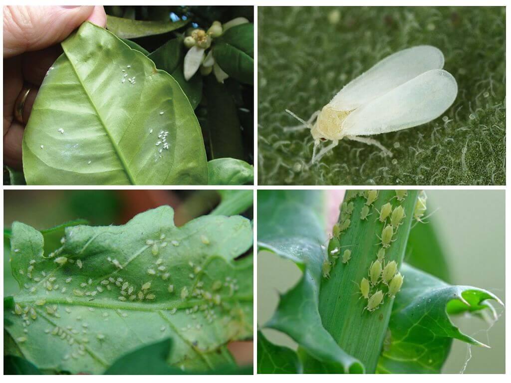 Beyaz sinekler ve houseplants yaprak bitleri