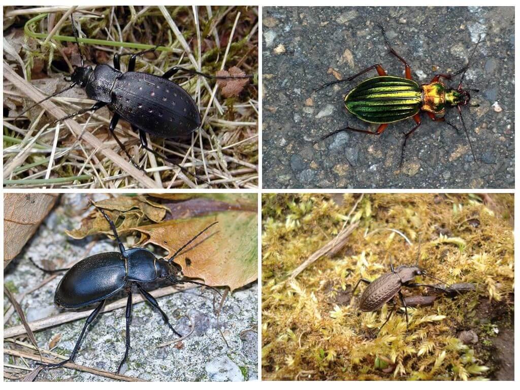 Toprak böceklerinin çeşitleri