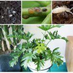 Rootworms, tırpan ve beyaz aptal