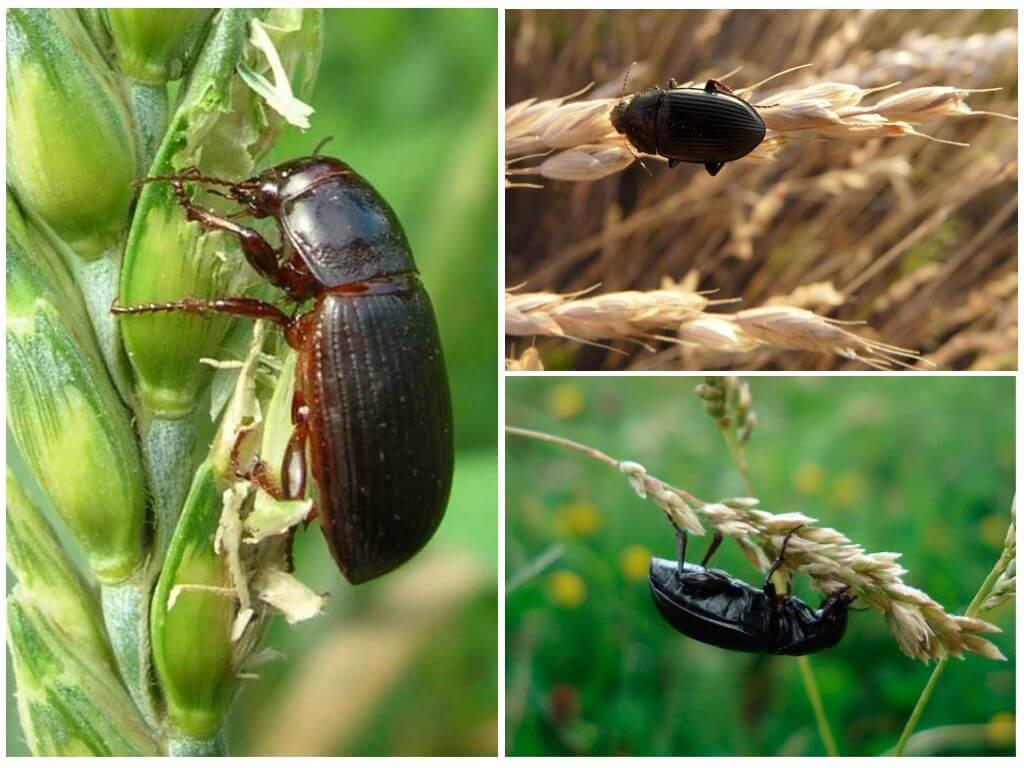 Tahıl zemin böceği