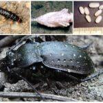 Siyah büyük zemin böceğinin üremesi