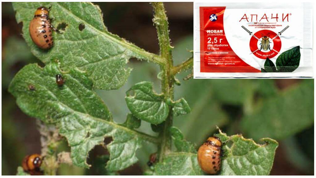 Colorado Patates böceği Apaches