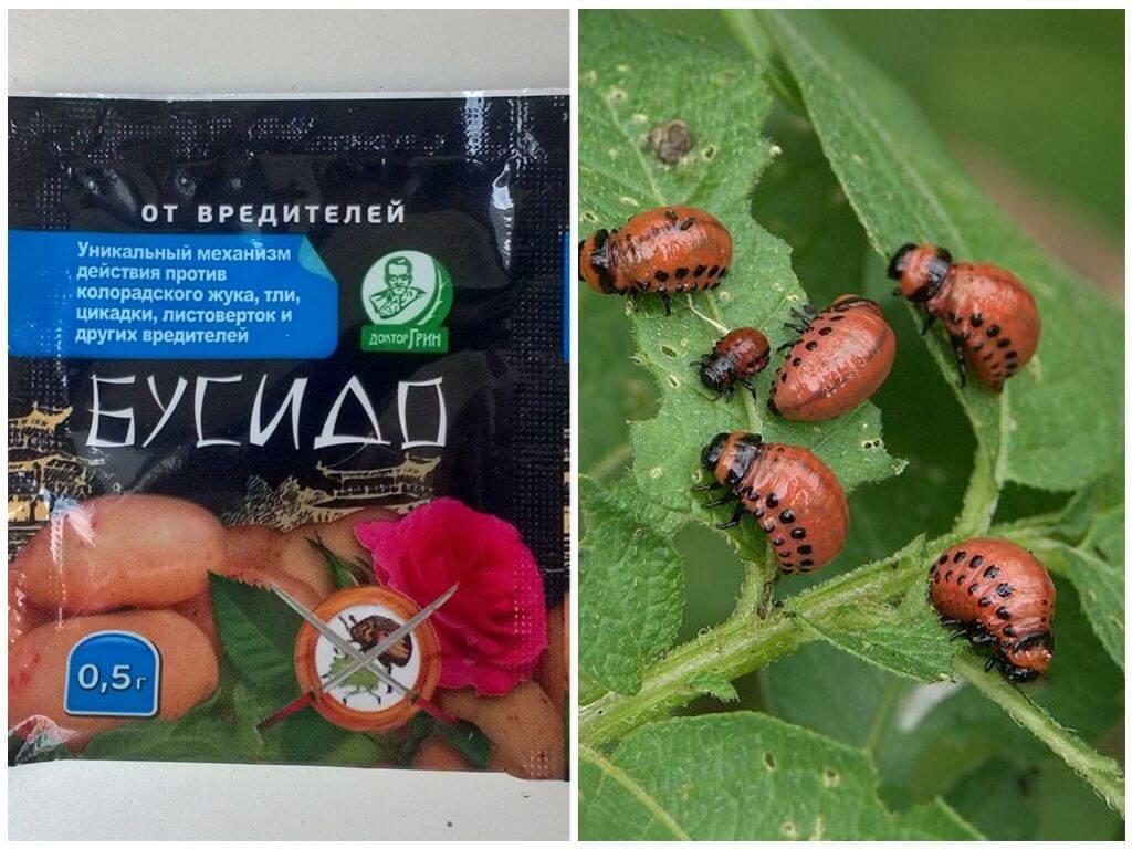 Colorado Patates böceği Bushido