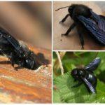 Bumblebee marangoz