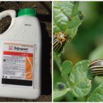 Colorado Patates Böceği için Ephoria Çare
