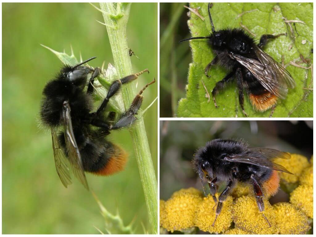 Taş yaban arısı