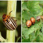 Colorado böceği