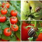 Domates üzerinde Colorado Patates böceği