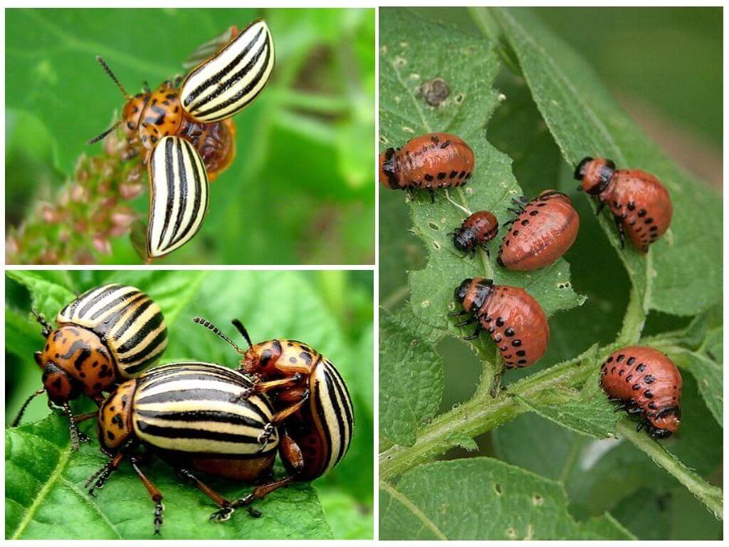 Colorado böcekleri
