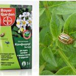Colorado Patates Böceği Patates tohumlarının tedavisi için Confidor